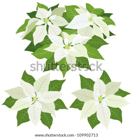 White poinsettia flowers for christmas decorations on white background - stock vector