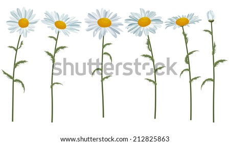 White realistic daisies isolated on white - stock vector