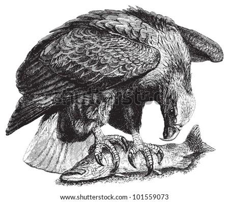 White tailed Eagle or Sea Eagle (Haliaetus albicilla) / vintage illustration from Brockhaus Konversations Lexikon 1908 - stock vector