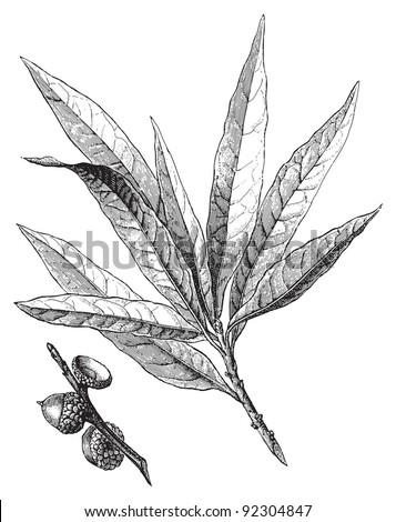 Willow oak (Quercus Phellos) / vintage illustration from Meyers Konversations-Lexikon 1897 - stock vector