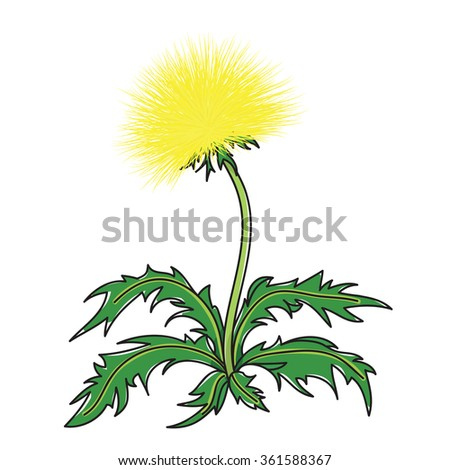 yellow blooming dandelions on a white background - stock vector