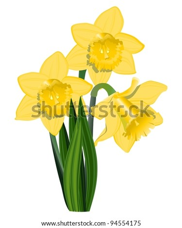 Yellow narcissus, vector - stock vector