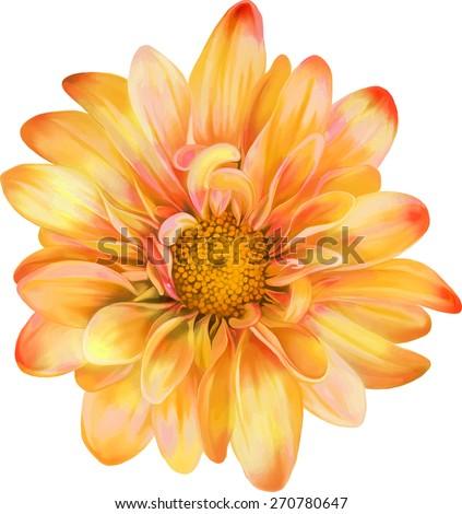 Yellow orange chrysanthemum flower, Spring flower.Isolated on white background. Vector golden-daisy - stock vector