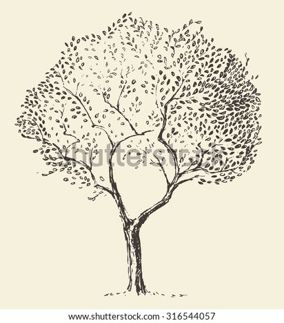 Young olive tree illustration, vector, hand drawn - stock vector