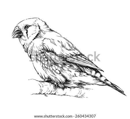 zebra finch  bird sitting on the branch. Isolated on white background - stock vector