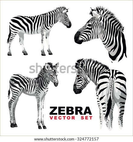 Zebra with a foal. Vector set. - stock vector